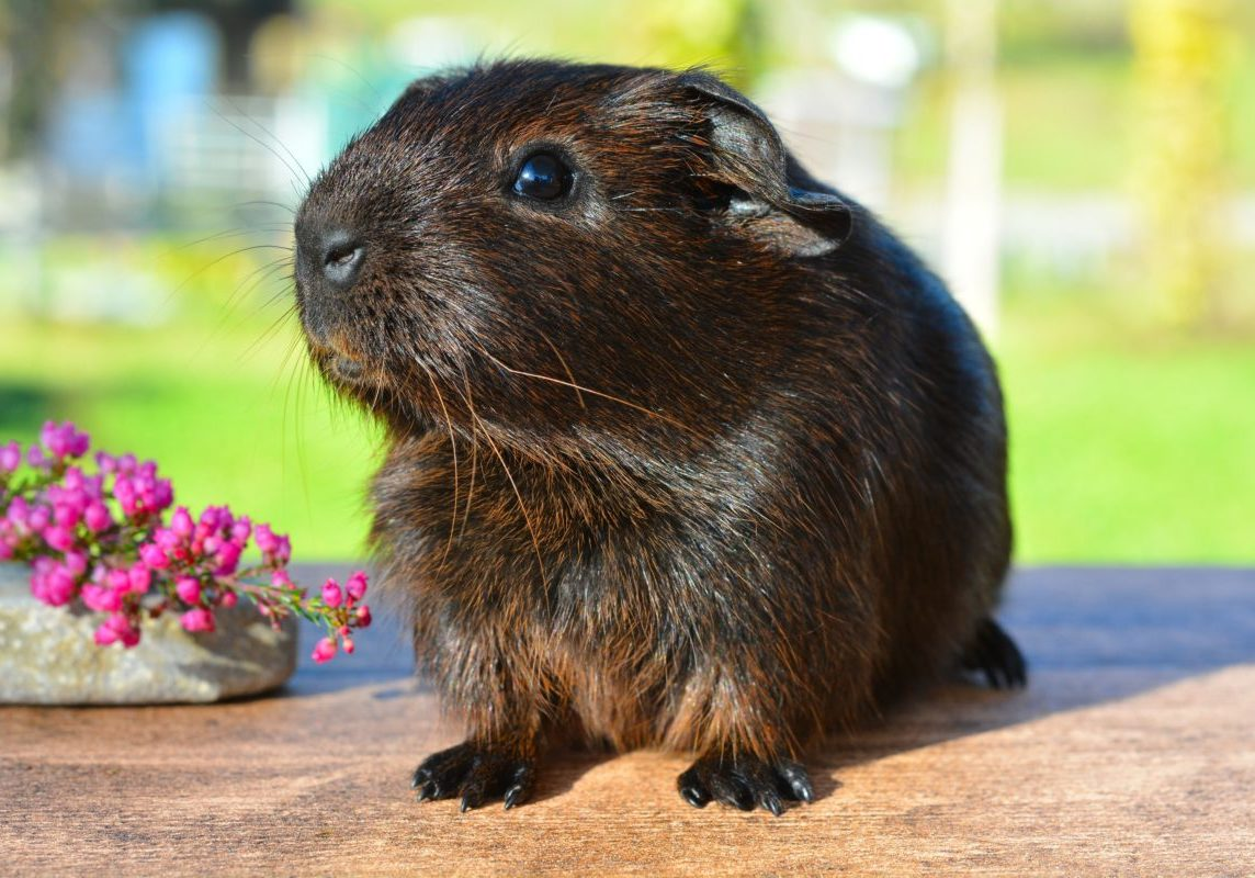 guinea-pig-smooth-hair-gold-agouti-young-animal-46533